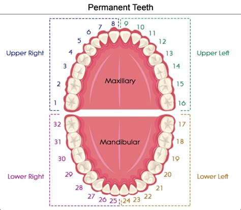 teeth diagram with numbers dental charts to help you understand the tooth numbering