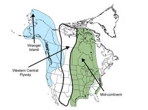 canada geese migration map snow geese flyways us