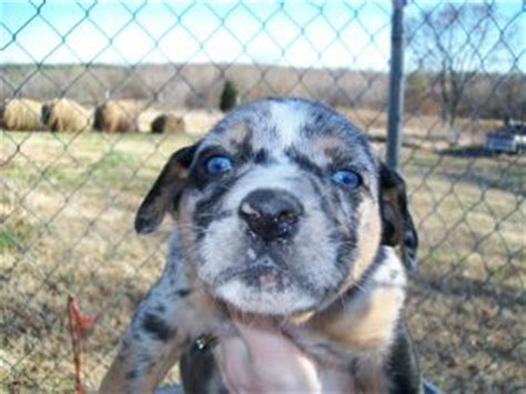 catahoula leopard puppies for sale catahoula leopard puppies in tennessee