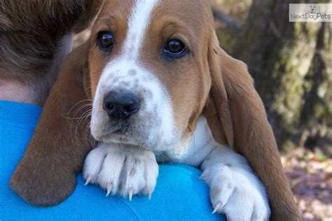 basset hound puppies for sale in missouri basset hound puppy for sale near southeast missouri missouri 8a4e5a01 ffa1