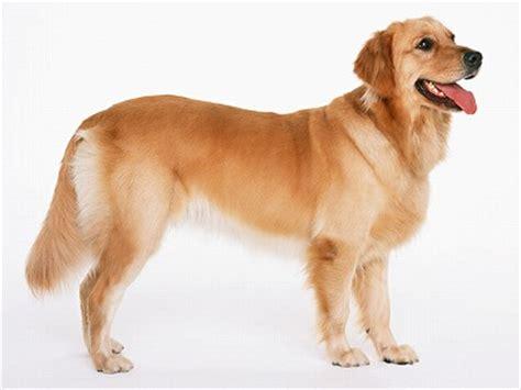 golden retriever age expectancy ゴールデン レトリーバー犬の年齢加算表
