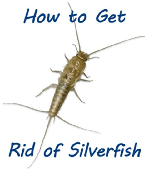 how do i get rid of silverfish in my bathroom getting rid of sugar ants naturally how to get rid of