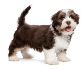 jeffs havanese havanese puppies for sale havanese breeders