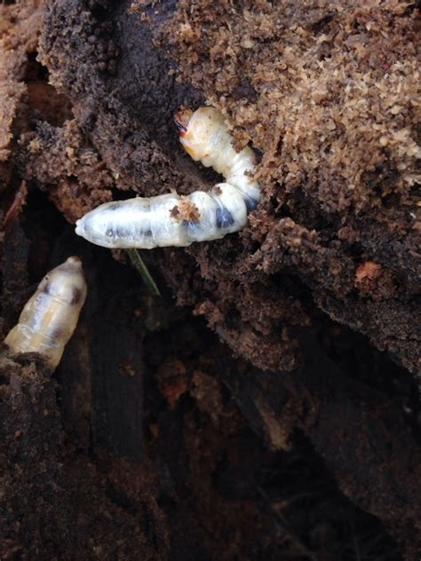 grubs in vegetable garden soil 28 best grub worms in garden soil how to kill grub worms in garden soil gardens worms and