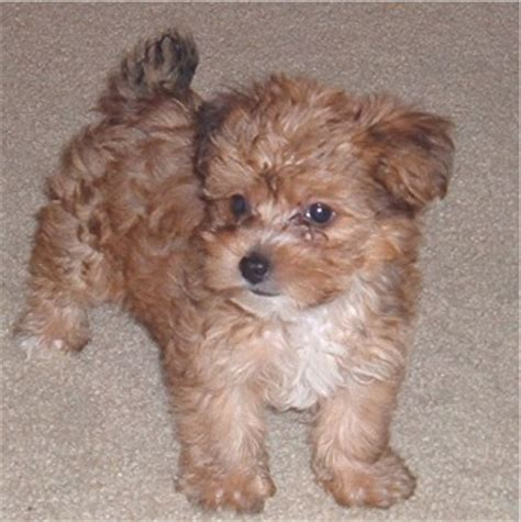 teacup yorkie poo grown yorkiepoo terrier poodle mix info temperament diet puppies