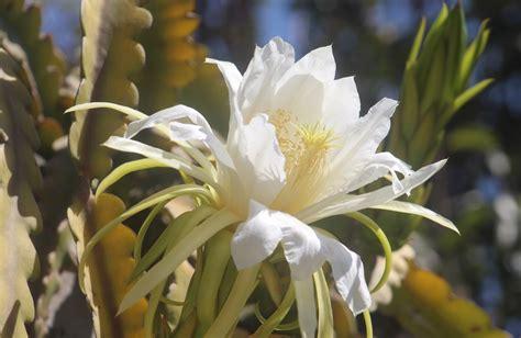 menanam bunga wijaya kusuma sebagai budidaya tanaman