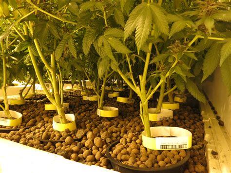 seattles  legal pot farm kuow news