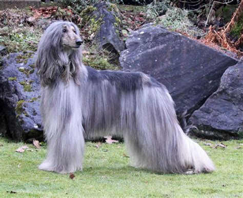 afghan hound afghan hound pictures puppies facts behavior