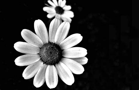 black and black and white flowers 6777484