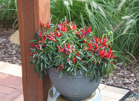 Best Plants For Patios by Keeping Potted Plants And Hanging Baskets Beautiful All