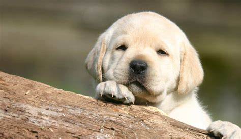 when can a puppy go outside health screening for labrador diseases