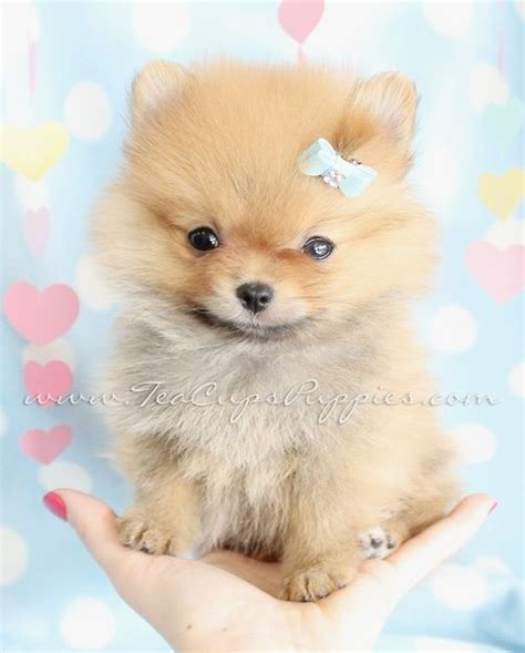 show me pictures of pomeranian puppies 883 best images about pomeranians on puppys pomeranian dogs and pom poms