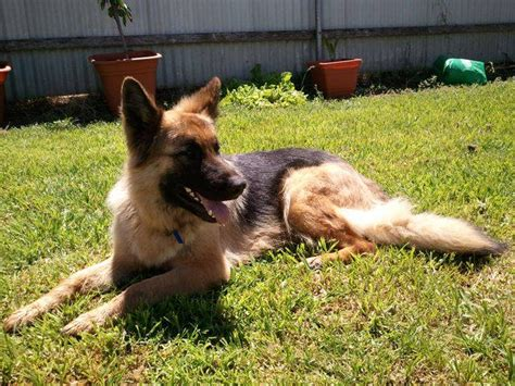 purebred german shepherd puppies for adoption purebred german shepherd for sale adoption from mount gambier south australia adpost