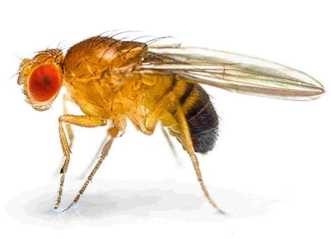 images of fruit flies information about fruit flies fannie s flypunch