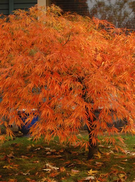 maple color japanese maple colors the world s best gardening