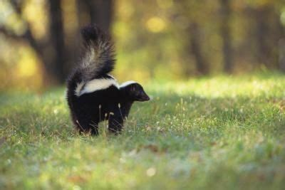 how to get rid of skunk in backyard how can we get rid of a skunk that comes in our yard every