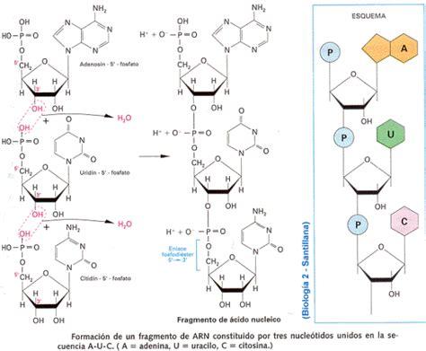 cantidad de cadenas del adn modelo de la cadena de adn de watson y crick