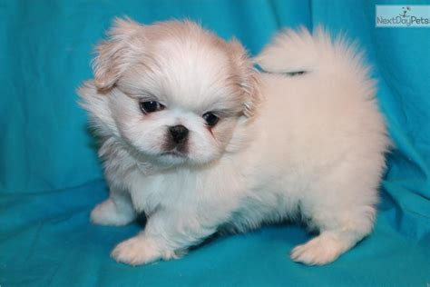 pekingese puppies for sale near me pekingese for sale for 700 near joplin missouri 3ce18bbe e081