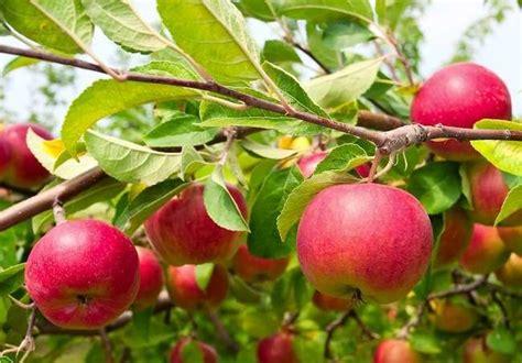 apple tree types 8 disease resistant varieties bob vila