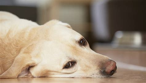signs of arthritis in dogs signs of arthritis in your vets help
