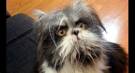dogs that look like puppies as adults are doing a take this cat who looks like a
