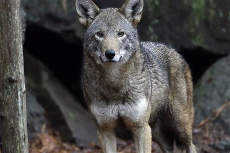 9 best images about wolf red wolf territory sharply reduced under new federal plan nbc news
