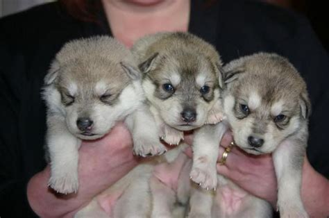 northern inuit for sale northern inuit puppies for sale breeds picture