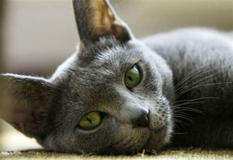 friendly cat breeds explained argos pet insurance