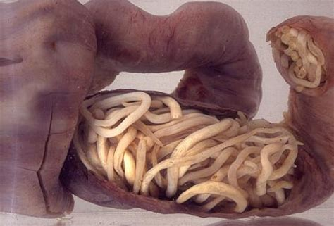Obat Cacing Ayam by 10 Penyakit Umum Yang Biasa Dialami Oleh Ayam Okdogi