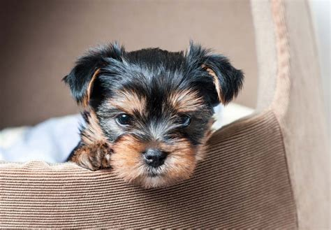 yorkie breed terrier puppies for sale akc puppyfinder