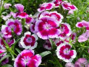 romantic flowers petunia flowers