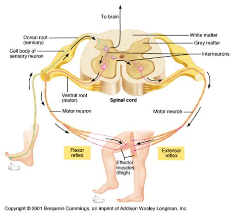 diagram of reflex arc figure 7 6 reflex arc