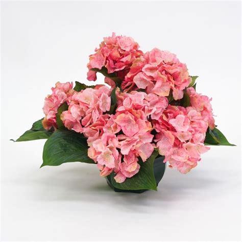 ortensie in vaso ortensia in vaso ortensie coltivare l ortensia in vaso