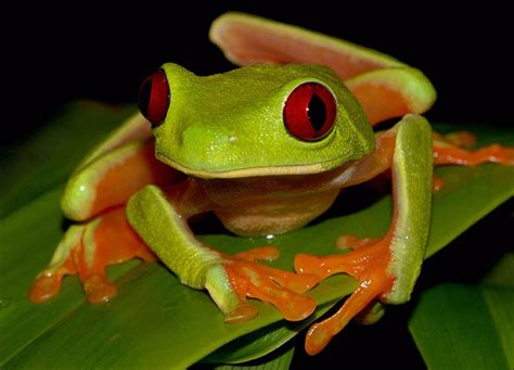 funny red eyed green tree frog funny animal