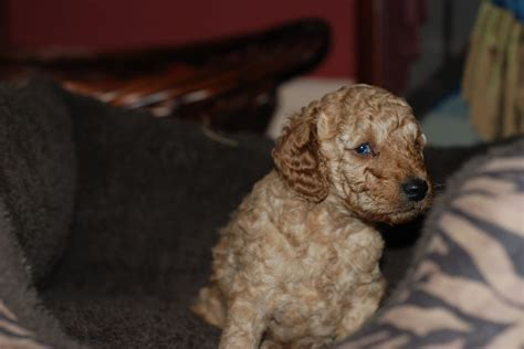 miniature poodle puppies for sale miniature poodle puppy for sale rochdale greater manchester pets4homes