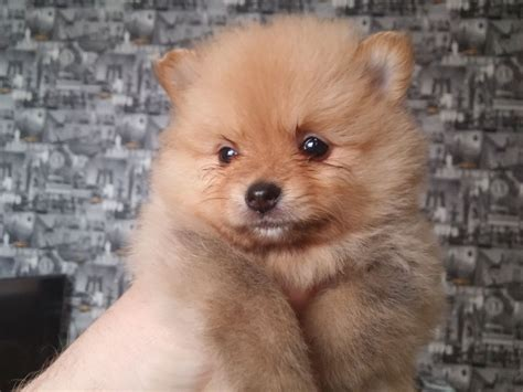 pomeranian puppies for sale lincolnshire pomeranian puppys for sale skegness lincolnshire pets4homes