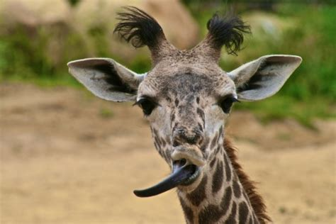 what color is a giraffe s tongue the jungle store friday fact the giraffe s tongue