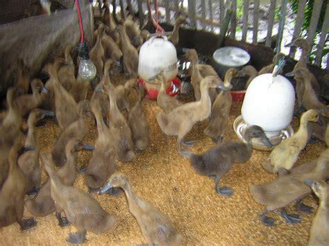 Bibit Unggul Ayam Petelur panduan memulai beternak itik petelur bebekternak
