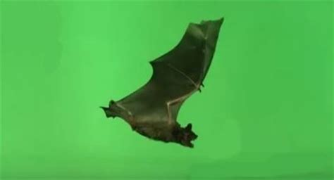 how to get a bat out of the house will repellents get a bat out of my attic nature and environment mother earth news