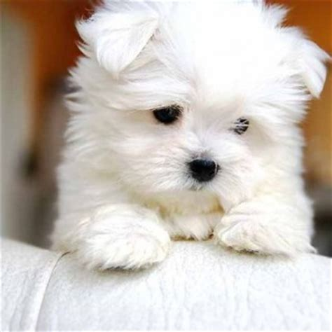free puppies in albuquerque maltese puppies for sale in oregon breeds picture