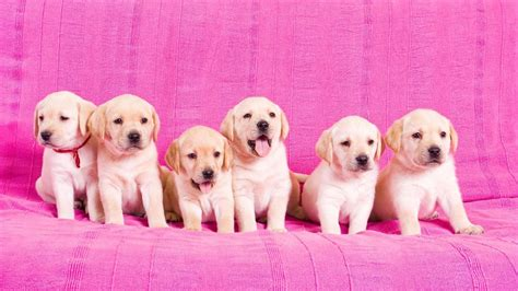 what is the gestation period for a what is the gestation period for labrador retrievers reference