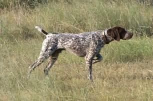 bluetick coonhound hunting training pics photos german shorthair pointer