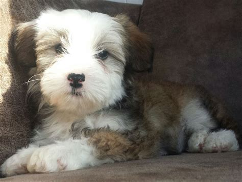 crested powder puff puppies crested powder puff puppies for sale car interior design