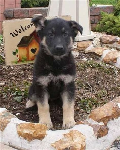 free german shepherd puppies for adoption home trained german shepherd for free adoption