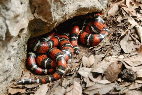 color pattern of coral snake snakes are amazing 5 of their most extraordinary