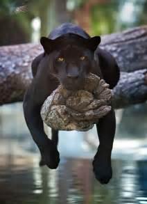 Florida Jaguars A Black Jaguar Hangs Out On A Tree Naturely