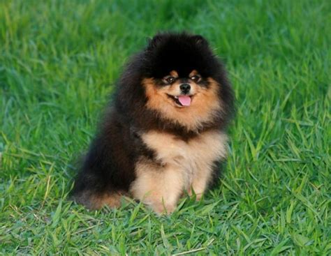 pomeranian black and brown black and brown pomeranian pomeranians