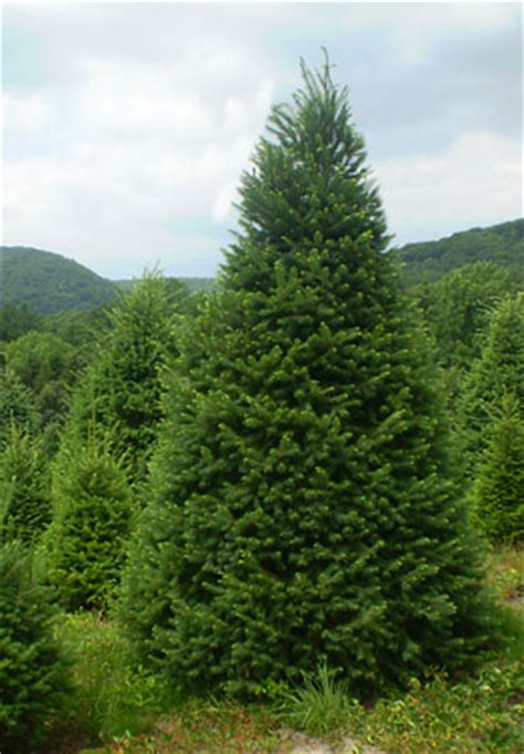 caring for your fresh pennsylvania christmas tree at levan