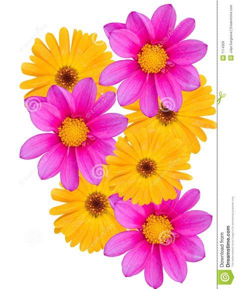 fiori con z fiori con i petali gialli e viola immagine stock