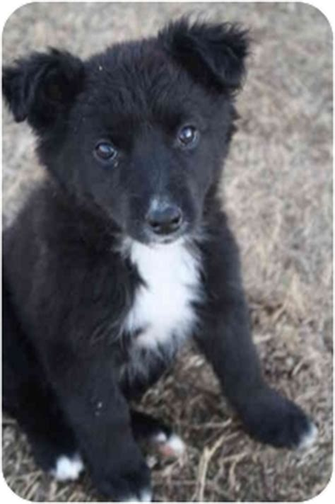 pomeranian border collie mix tootsie adopted puppy lebanon tn border collie pomeranian mix